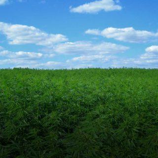 hemp-field-industrial